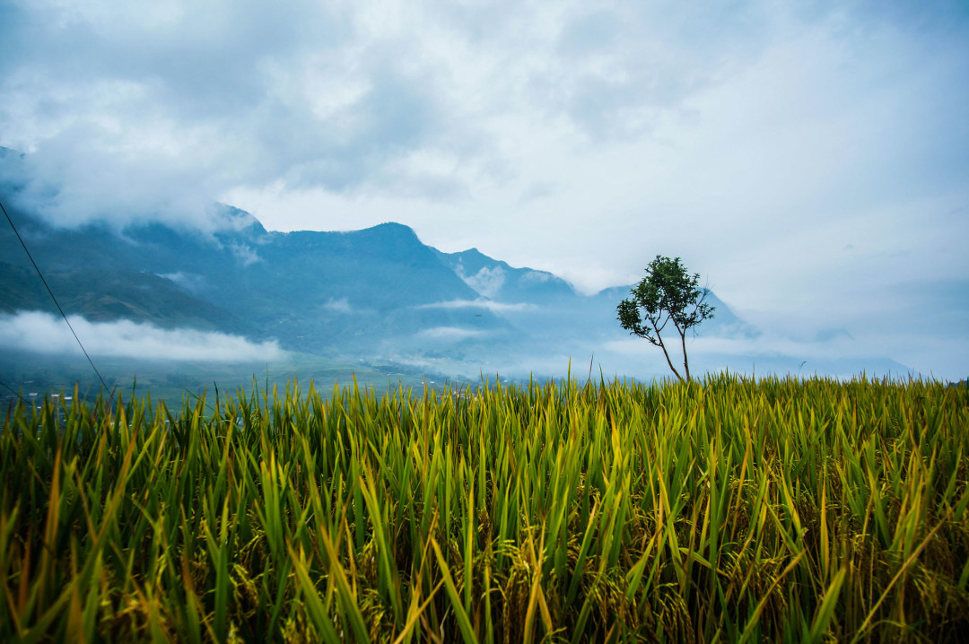 rice_paddy_viewpoint_sapa